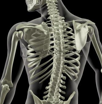 Torso of a medical skeleton