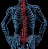 Spine of a medical skeleton