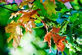Maple leaves in paints of autumn