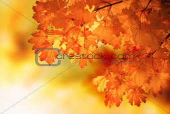Abstract autumn maple branch