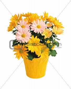 Pot with yellow and pink chrysanthemums isolated on white