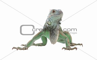 Green iguana(Iguana iguana) isolated on white
