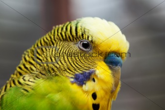 Australian Green Parrot