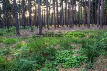 View through trees in forest with sun rising in background