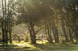 Misty sunny morning sunrise through woods with cows in backgroun
