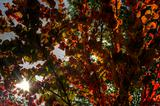 Autumn color tree with fantasstic sun flare coming through leaves