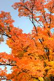 Stunning maple tree with glorious Autumn color and spread