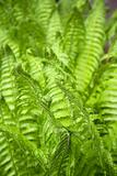 Fresh ferns in spring