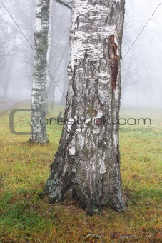 Birch tree in fog