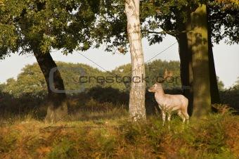 Red Deer Rutting Season Autumn Fall