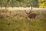 Red Deer Rutting Season Autumn Fall