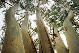 Unusual viewpoint of Eucalyptus tree