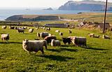 flock of sheep in Ireland