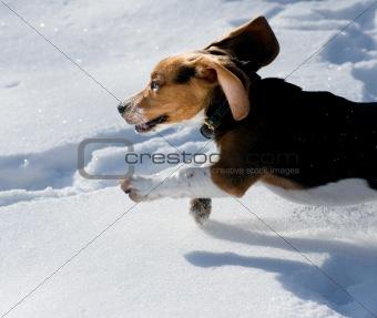beagle puppy in snow