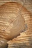 Cross section of old tree with annual rings