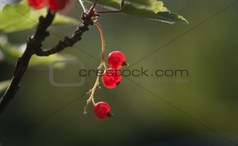 Close up of red currants