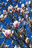 Magnolia flowers