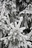 Frosty nedles