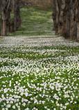 Field with Anemone Nemorosa