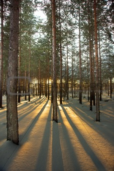 Back lit pine trees