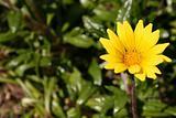 Compositae Asteraceae Family