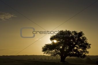 Ancient English Oak silhouette at sunrise