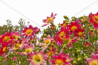 Beautiful view of dahlia flowers from ground looking up with ple