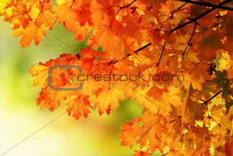 Autumn maple branch background
