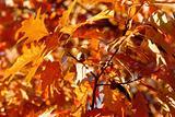 Autumn oak and leaves
