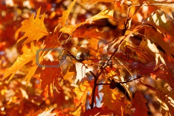 Autumn oak and leaves