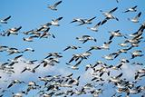 Snow geese