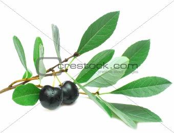 black cherries isolated on white