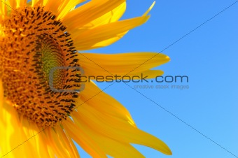 a bright fresh sunflower