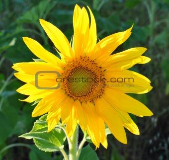 beautiful yellow sunflower