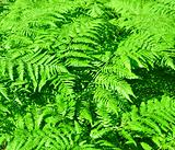 fern growing in a forest