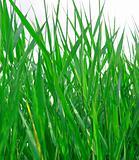 green grass backgound