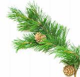 siberian cedar(siberian pine) branch with ripe cone