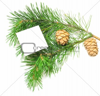 branch of pine with cones