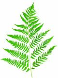 young green fern leaf