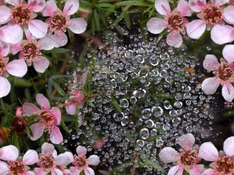 spring rain water drops on spiderweb with pink flowers