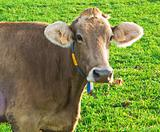 Dairy cow watching at something.