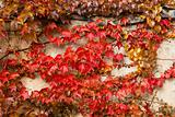 Autumn red colored leaves on stone wall for backgroung use
