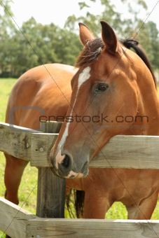 Chestnut horse in field