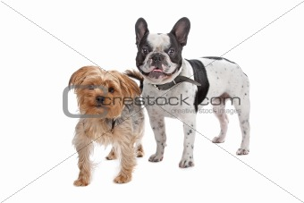 French Bulldog and a Yorkshire Terrier
