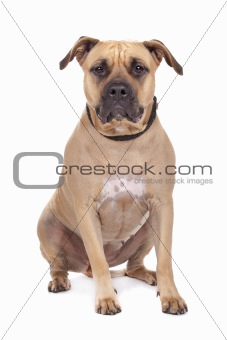 American Staffordshire Terrier isolated on white