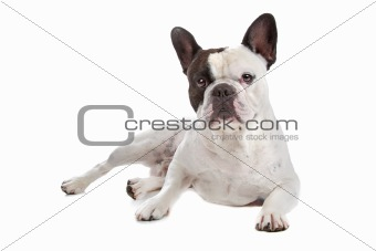 French Bulldog isolated on white