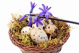 Quail Eggs And Blue Hyacinth