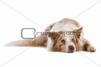a border collie sheepdog isolated on a white background