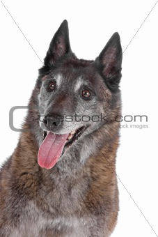 old and grey Belgian Shepherd isolated on a white background