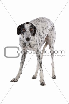 white Greyhound dog with black spots isolated on a white background